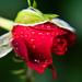 the rose and the raindrops by annied