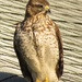 Young red shouldered hawk.