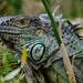 Iguana by salza
