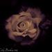 White Chocolate Raspberry Rose