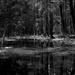 She-oaks and billabong by peterdegraaff