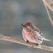 Redpoll by sunnygreenwood