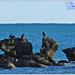 Cormorants(Paphos,Cyprus)