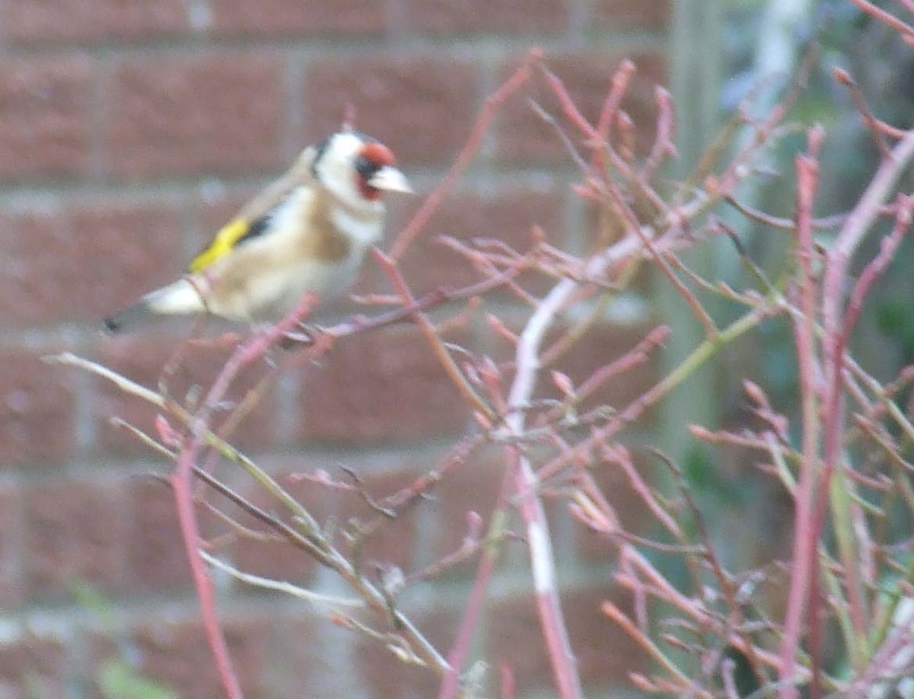 """G""  for Goldfinch by peterday"