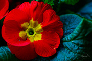 29th Jan 2015 - Red Primula