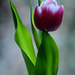 Tulip by richardcreese