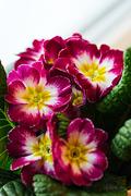 30th Jan 2015 - Purple primula