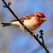 30th Jan 2015 - A new winter visitor