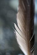 30th Jan 2015 - Beachy Feather
