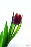 31st Jan 2015 - Tulip