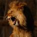 Roar or Yawn? by leonbuys83