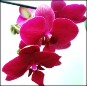 1st Feb 2015 - Orchid