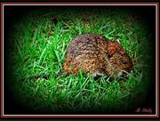 30th Jan 2015 - Mouse-Like but Bigger