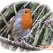 Robin by carolmw