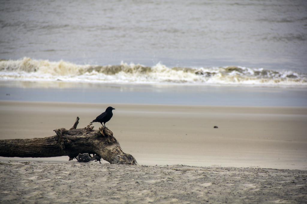 Crow on the Beach by hjbenson