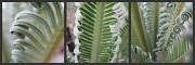 1st Nov 2010 - Fronds of the Cycad
