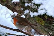 3rd Feb 2015 - A robin at last!