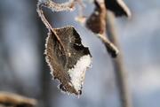 3rd Feb 2015 - Frosty leaf