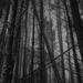 Pine wood by overalvandaan