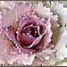 Cabbage Flower by elatedpixie