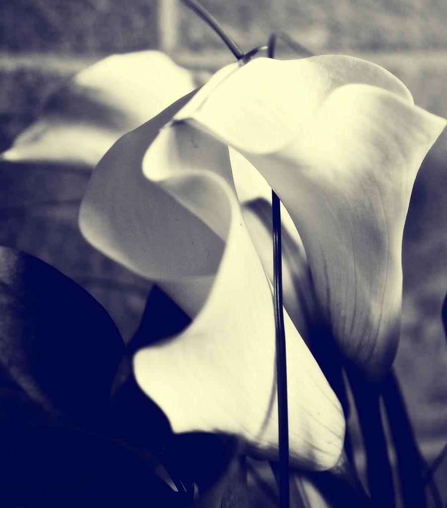 Lily #2 by brigette