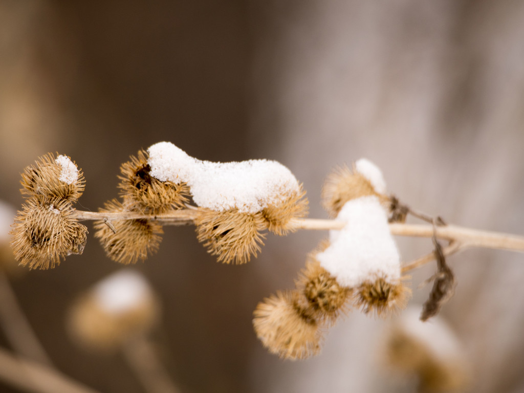 Winter Burrs by rminer