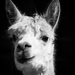Alpaca haughtiness by flyrobin