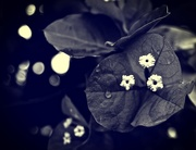6th Feb 2015 - Little white flowers