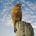 Today's Hawk - last week's sky! by milaniet