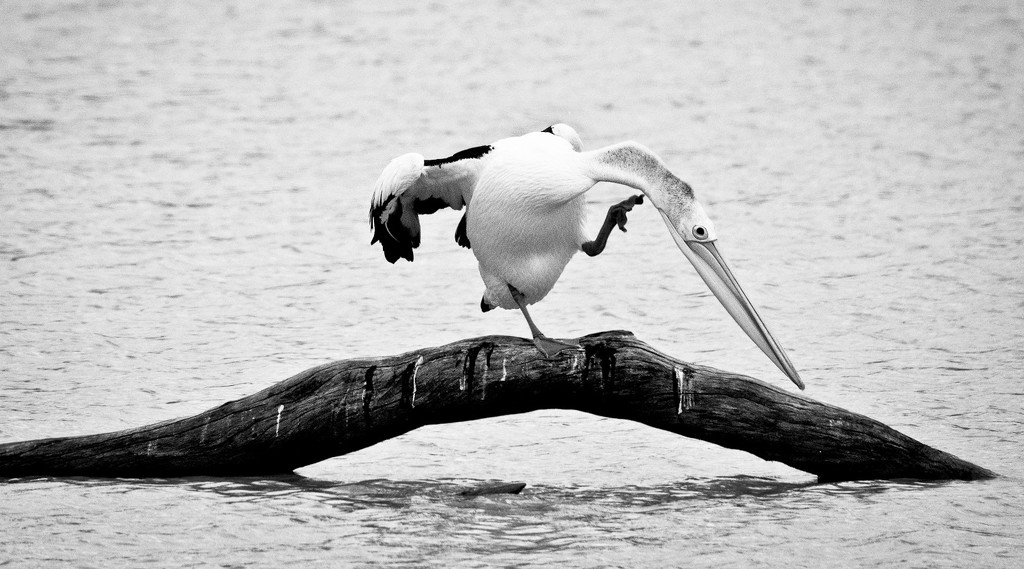 The pelican dance by bella_ss