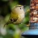 GOLDCREST I by markp