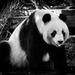Wang Wang the Giant Panda by flyrobin