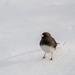 Junco by joansmor