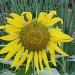 Sunshine and sugarcane by corymbia