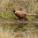 RSPB Pheasant by rosiekind