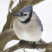 Blue jay by mccarth1