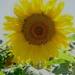 Ah, Sunflower.... by maggiemae
