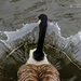Goose Crown. by tonygig