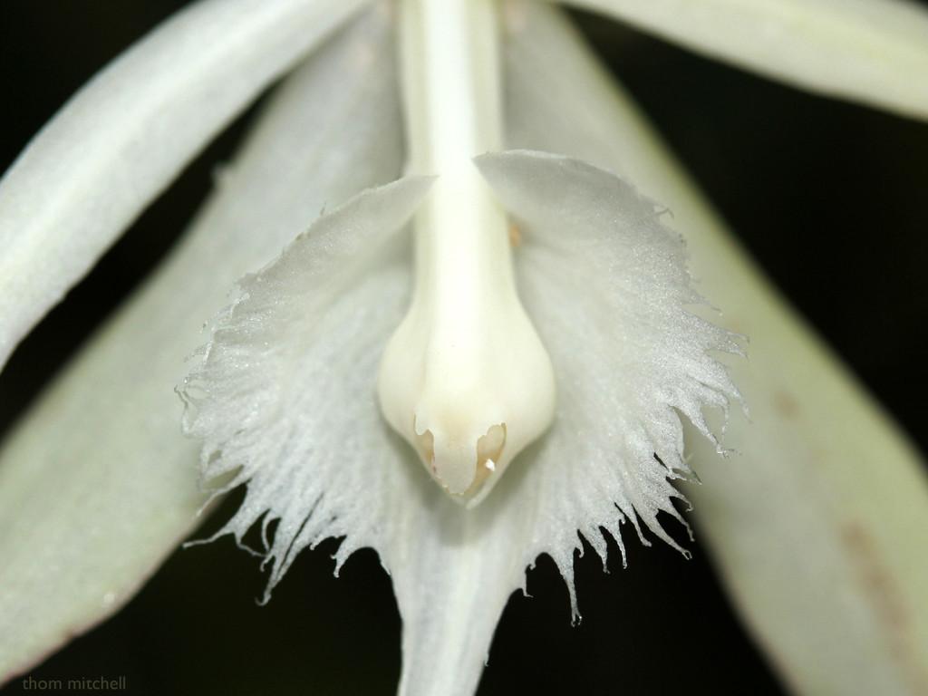 Brassavola cucullata by rhoing