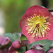 Hellebore by seattlite