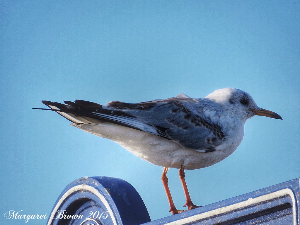 Another day and another gull... by craftymeg