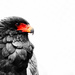 Bateleur on 365 Project
