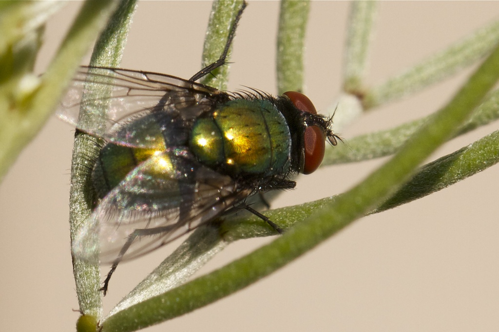 Green Bottle Fly by robv