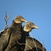 Black Headed Vultures by rob257