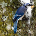 Trying to Slow the Bluejay Down! by milaniet