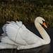 Day 104 ~ Swan by nicoleterheide