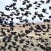It's Snowing Red-Winged Blackbirds in Kansas! by kareenking