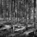 B&W February:  Dappled Forest Sunlight by vignouse