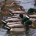 Whole Mess 'o Ducks