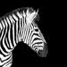 Zebra by salza